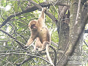 二级保护动物,在我国分布于四川,陕西南部,湖北,云南,广西,江西,贵州
